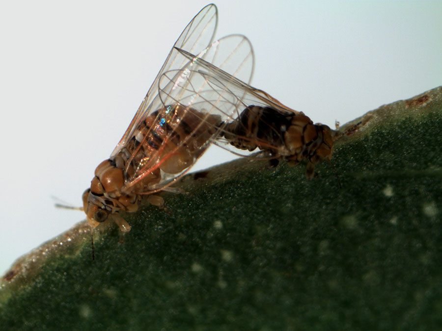 Male and female psyllid adults