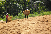 Thumbnail image of two women spreading coco coir over the ground to dry.