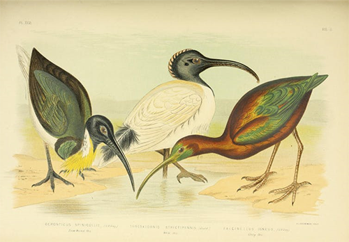 An illustration of three ibis: the Straw-necked Ibis, Australian White Ibis and Glossy Ibis.