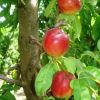 Summerfruit quality