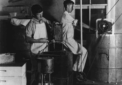 Apiary - Students extracting honey - uncapping the comb with steam heated knife [Hawkesbury Agricultural College (HAC)] 1920