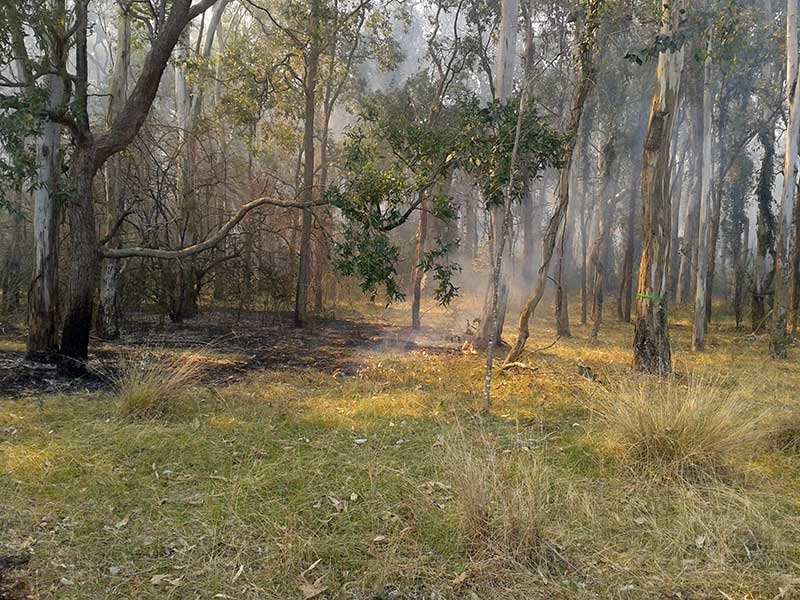Backburning the understorey in the Cumberland Plain Woodland