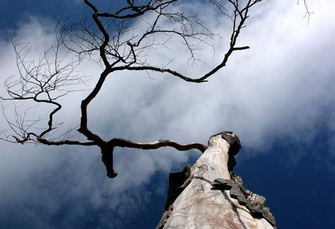 Dead beech tree