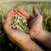 A farmer holding grain in his cupped hands