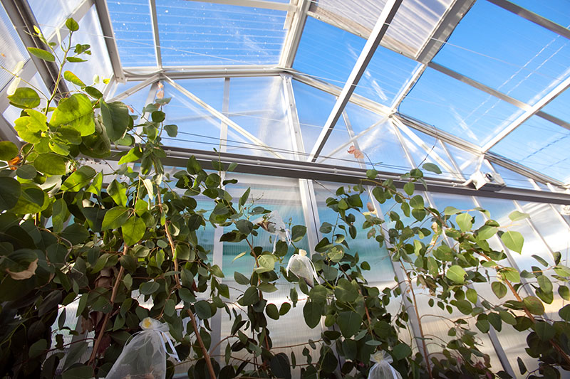 Greenhouse with insect-bags on Eucalypts