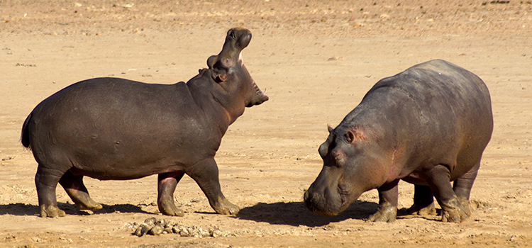 Hippos in South Africa