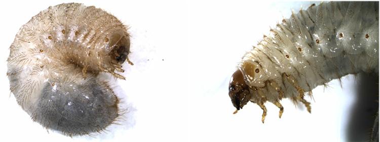 Scarab Larvae. Image Credit - Kirk Barnett