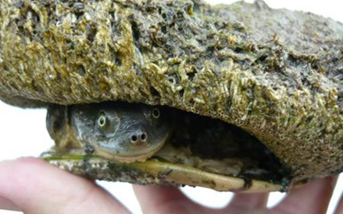 Native turtles face extinction in South Australia: New report