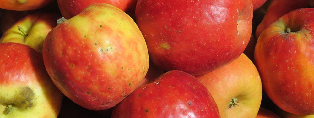 Alternaria fungus on apples