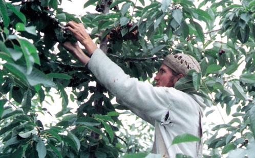 Migrant worker picks fruit