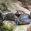Murray River Turtles_Spencer