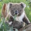 Koala_Moore