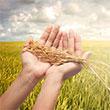 Wheat Hand 110