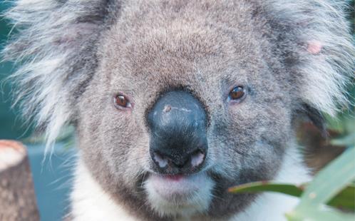 Future Makers - Koala