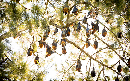 Flying Foxes 498x310