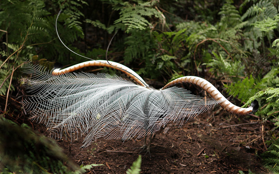 Male Lyrebird with full feathers on show