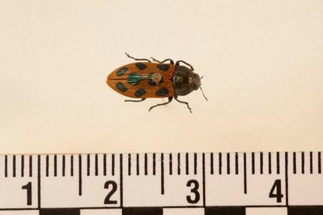 Castiarina octomaculata.jpg