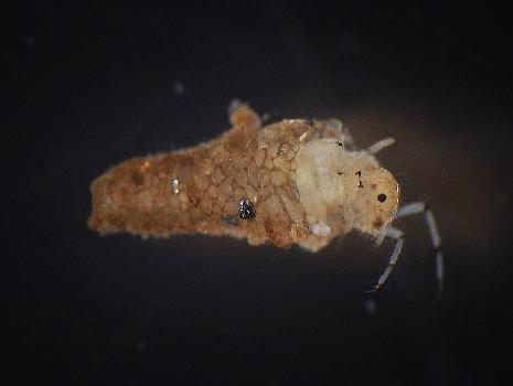 Caddisfly (Leptoceridae)