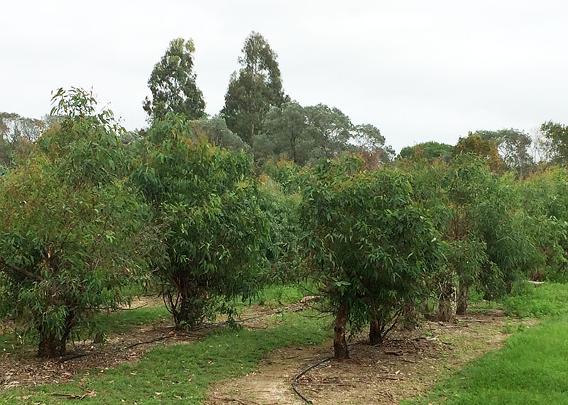 Koala Food Plantation on Hawkesbury Campus