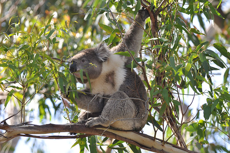Koala in tree feeding