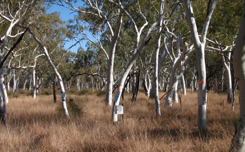 Pilbara trees 2