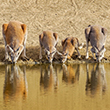 Thumbnail image of a row of kangaroos drinking from a water hole.