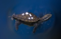 Image of turtle swimming