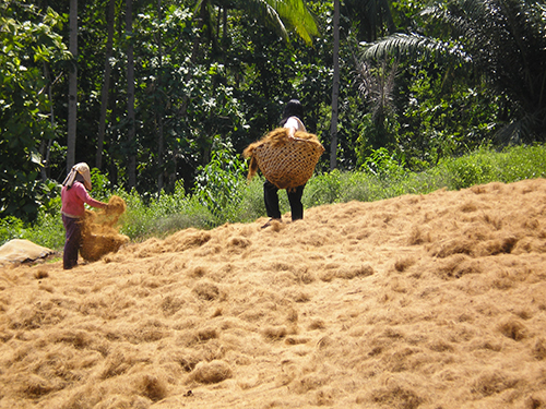 Two women with baskets carrying and sorting coco coir, as it dries while spread over the ground. Green trees behind them.