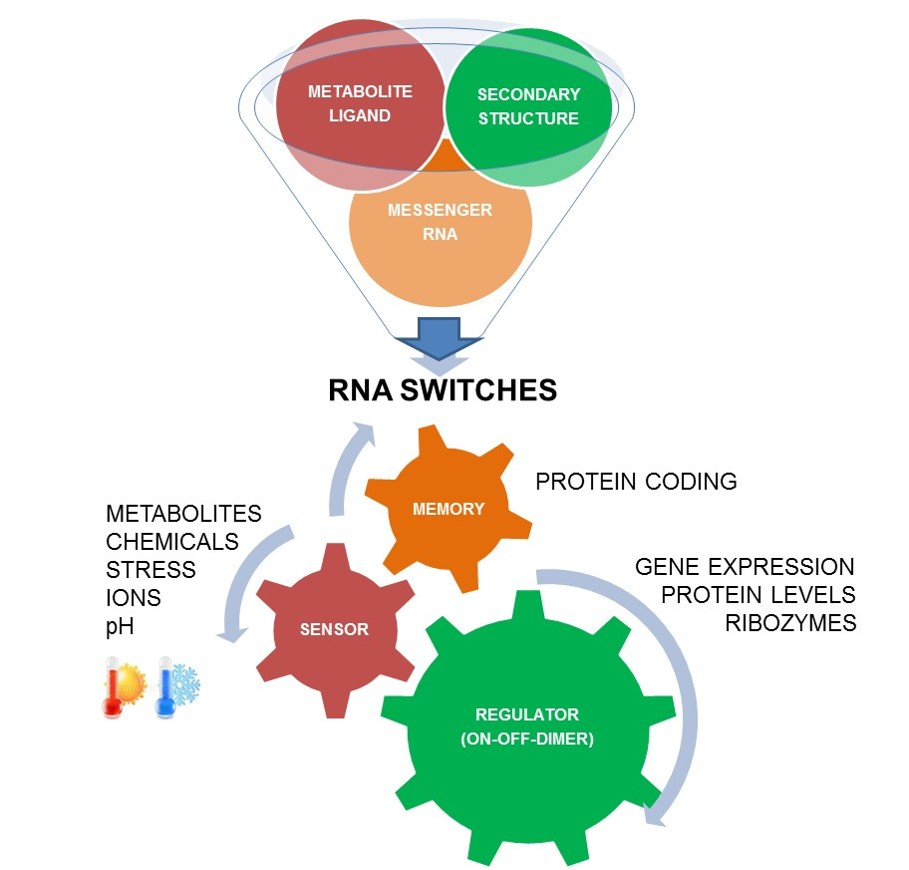The Hunt for RNA Riboswitches that regulate plant metabolism and contribute to memory forming epigenetic events.