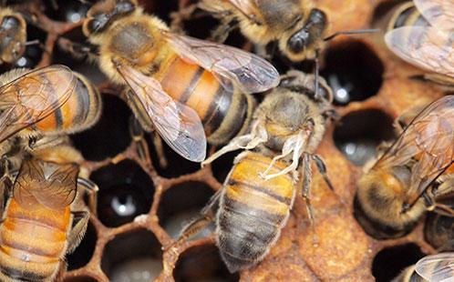 Deformed Wings Bees