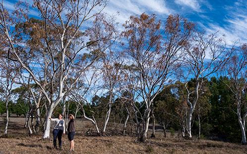 Dieback of eucalypts at Armidale