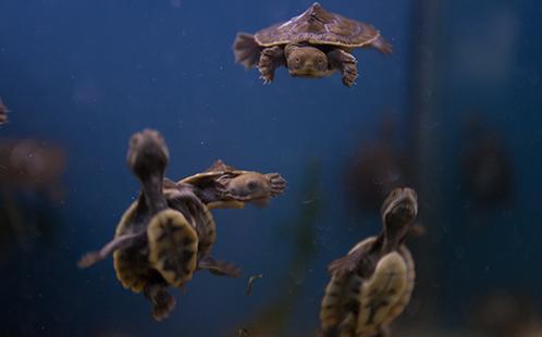 Three turtle hatchling underwater