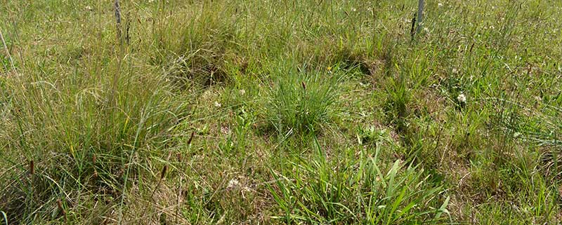 Grasses under investigation at the DRI-GRASS site