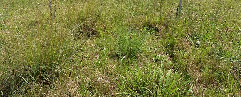 Grasses under investigation at the DRI-GRASS site