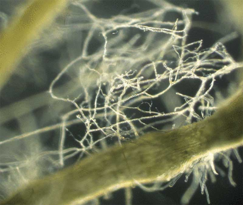 Close-up of arbuscular mycorrhizal fungi connecting roots of plant hosts. Photo credit: Yoshihiro Kobae