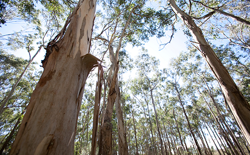Forest at Hawkesbury FACE research site
