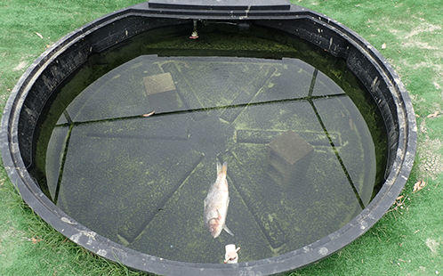Day one of the mesocosm experiments - a carp carcass is added to the water.