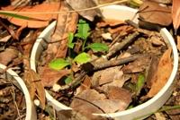 Telopea Seedlings
