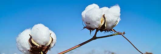 Ripening cotton bolls against a sunny blue sky