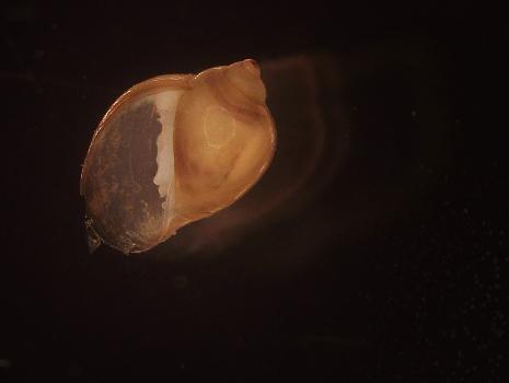 Freshwater snails (Physidae)