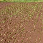 Soil Seedlings 150