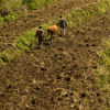 Two men use an ox to plough a narrow, terraced field in China