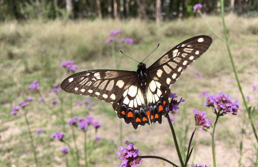 Dainty Swallowtail at EucFACE