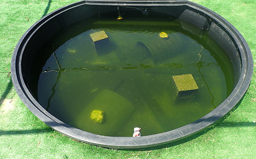 Day nine of the mesocosm experiments, with turtles present in the water - carp carcass has been completely devoured.