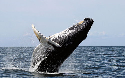 Whale jumps out of water