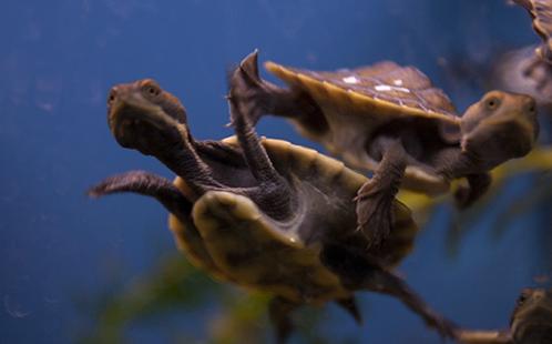 Two turtle hatchlings underwater