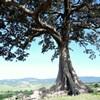 Fig trees_Rymer