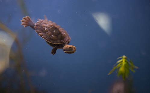 Single turtle hatchlings underwater