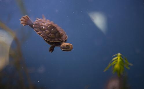Turtle hatchling underwater