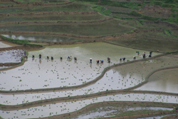 People working in a flooded field in Laos.